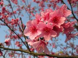 cherry-blossoms-679868_640